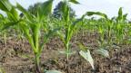In einem Feldversuch testet das Landwirtschaftliche Zentrum Liebegg, wie sich Mais und Bohnen gemeinsam pflanzen lassen.