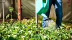 Eine Person giesst Pflanzen in einem Schrebergarten.