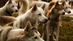 Ein Rudel sibirische Huskies.