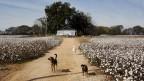 Baumwollfeld in den Südstaaten der USA.
