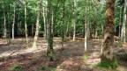 Ein Wald mit Bäumen, die mehrer Meter auseinander stehen.