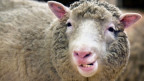 Schaf Dolly.