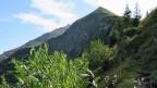 Der Wald am Niesen nimmt zu: Eine Walze aus jungen Bäumen kämpft sich einen Meter pro Jahr den Hang hinauf.