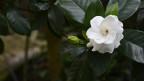 Audio «Das Duftwunder Gardenie» abspielen.