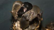 Audio «Ratten- und Mäusegift: «Das ist Tierquälerei»» abspielen.