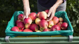 Audio «Äpfel richtig lagern: So bleiben die Früchte länger frisch» abspielen.