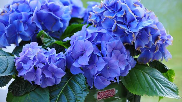 blaue hortensien eine laune der natur musikwelle magazin schweizer radio und fernsehen. Black Bedroom Furniture Sets. Home Design Ideas